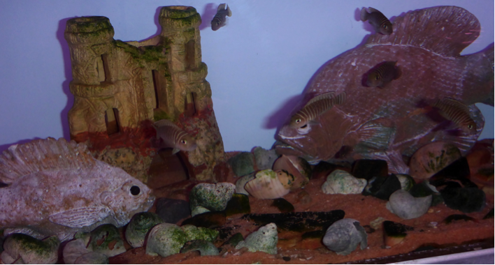 Species Archives - Page 6 of 7 - The Cichlid Stage